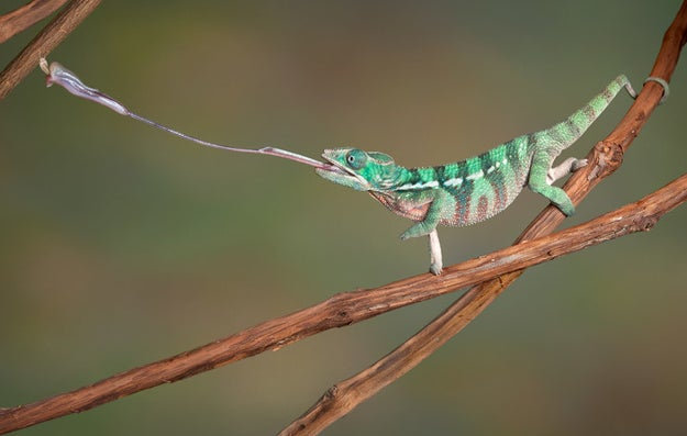A chameleon's tongue is approximately twice as long as its body.
