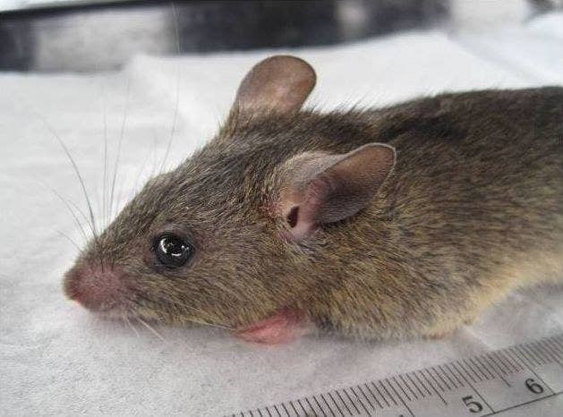 """Lassa fever is caused by a virus that normally infects rodents. Humans usually get the virus from contact with infected rats or their urine and feces, says Rollin, which happens when people try to trap the rats or if they ingest contaminated food.""""The reservoir for the virus is a rodent that exists all over West Africa [multimammate rat], and it's chronically infected with Lassa all year,"""" Rollin says. The rats carry the virus without any symptoms, so there's no way to tell whether a rodent is sick with it or not.It's less common, but Lassa can spread from person to person via contact with an infected person's bodily fluids. This type of infection often occurs in healthcare settings where there's poor sanitation or not enough prevention or protective measures, Rollin says. The 2018 outbreak has affected 16 healthcare workers in six different states."""