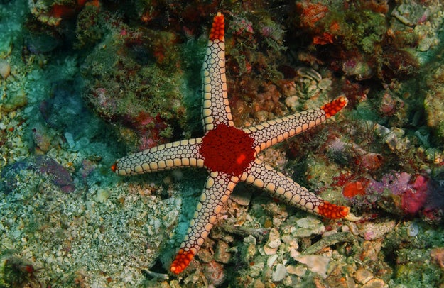 With all of these disturbing powers, starfish must have really big brains, right? WRONG. Starfish actually lack brains.