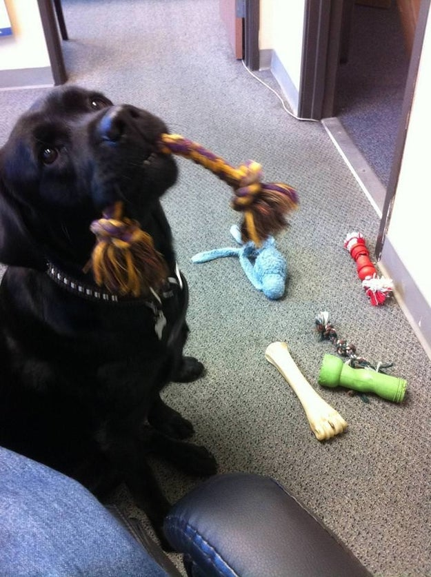 This ol' labby girl who heard you got laid off so she's sharing her toys.