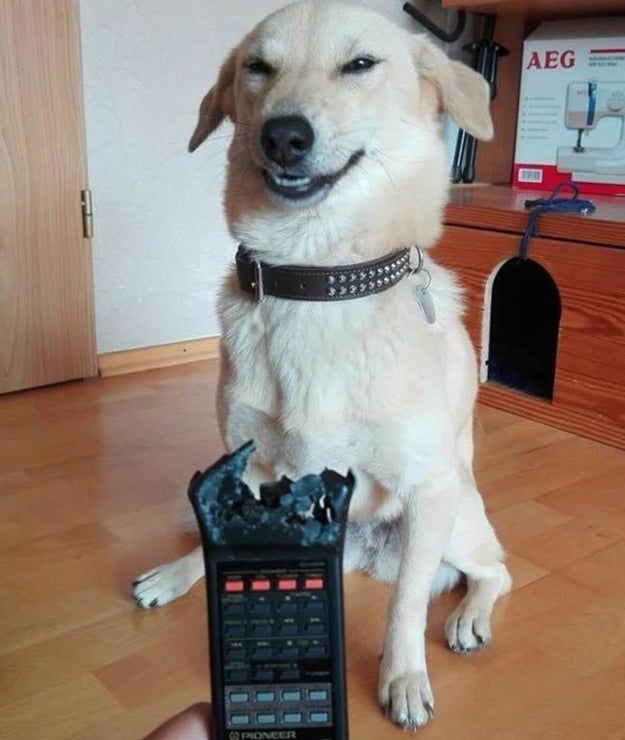 This dog who ate the remote control, and doesn't care who knows it.
