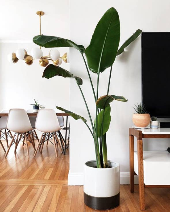 Bird-of-Paradise-Plant-Care