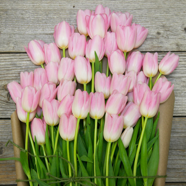 the pink tulips