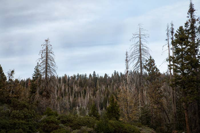A hill of pale, bare trees offers a sense of the scale of the mortality California's trees are facing.