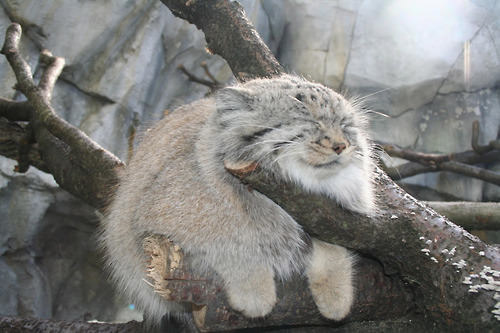 Hi. Are you aware of Manul cats?
