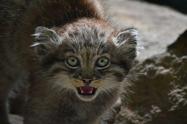 🎶 La la la laaaaaaa I love you, Manul kitty, la la la... 🎶