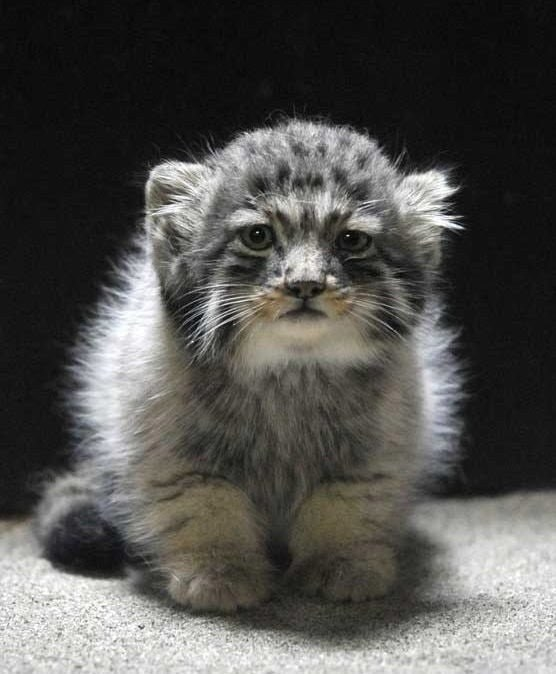 AND MANUL KITTENS?!?!?!?! I just spat out my iced chai.