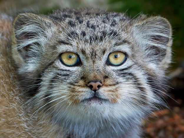 And now, dear reader, you too are aware of the Pallas's cat/Manul cat. YOU'RE WELCOME.