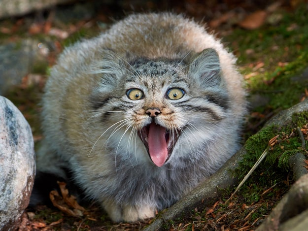 They're also known as Pallas's cats, and they're native to Central Asia. They're also FUCKING ADORABLE!!!!!!!!