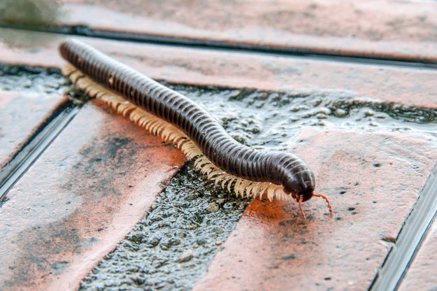 Millipedes also fart, but given that the size of their farts is proportional to the size of their bodies, you'll probably never have to worry about smelling them.