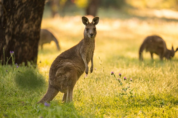 Kangaroos also fart, but unfortunately not as a propulsion mechanism to jump, which would be amazing.