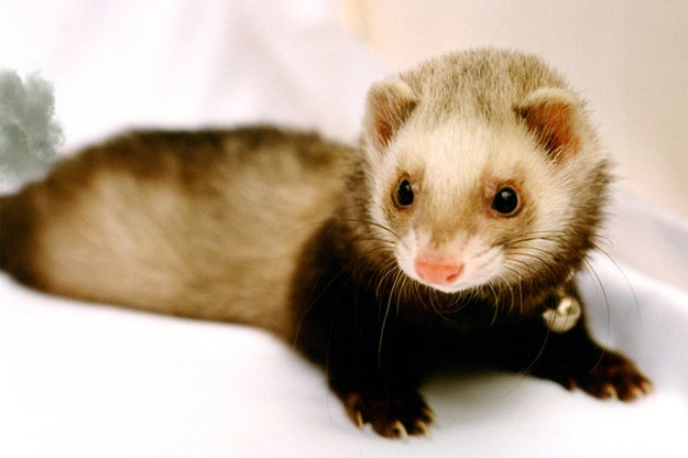 Ferrets occasionally startle themselves when they fart (or maybe they're just looking around for someone else to blame).