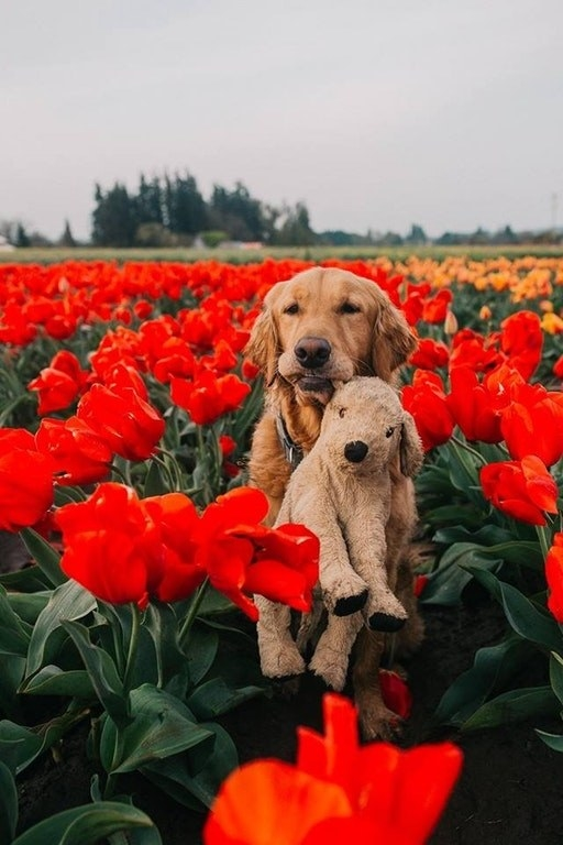 This golden nug who brings his teddy with him everywhere he goes... even on flower romps!!!!!!