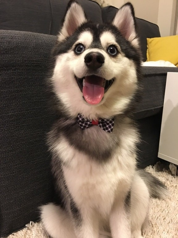 🚨POMSKY IN BOWTIE!!! THIS IS NOT A DRILL!!!!!!!!!!!!!🚨