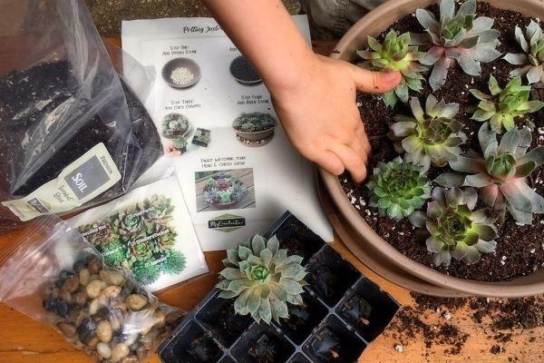 hands planting succulents into a pot