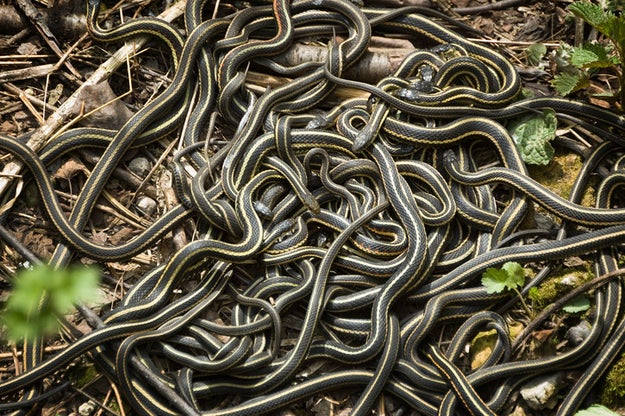 Male garter snakes will imitate a female garter snake in order to attract males that will cuddle and keep them warm.