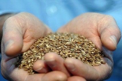 回収対象となっている大麦の一種、バーリーマックス