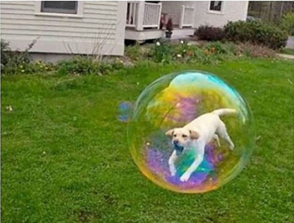 This dog that appears to have the ability to float through the air in a large bubble.