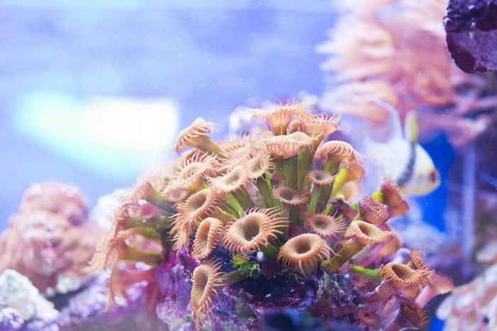 The Zoanthus species of sea coral.