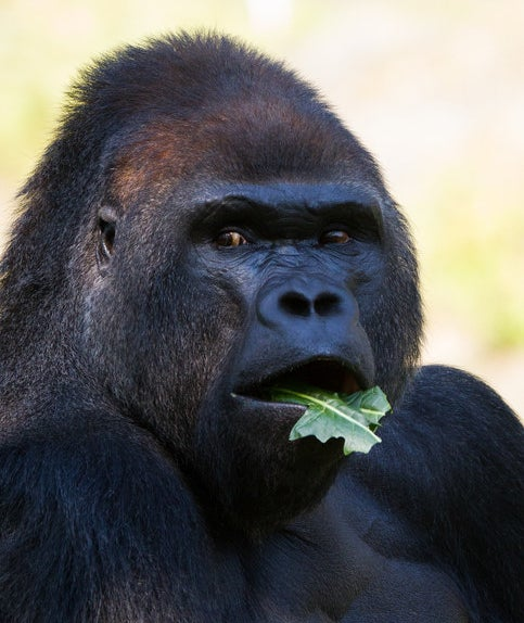 The vocalizations are also used to tell other gorillas that they're busy eating.