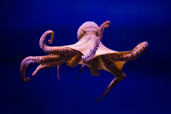 The common octopus.