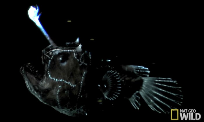 There are over 200 types of anglerfish, which can grow to be 8-40 inches long and up to 110 pounds. Their mouths are so wide and flexible that they can easily swallow prey that is double their size.