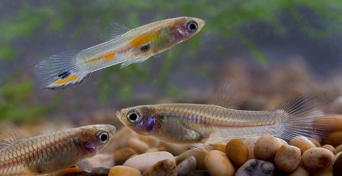 Female guppies can mate and give birth as soon as they're 2 or 3 months old.