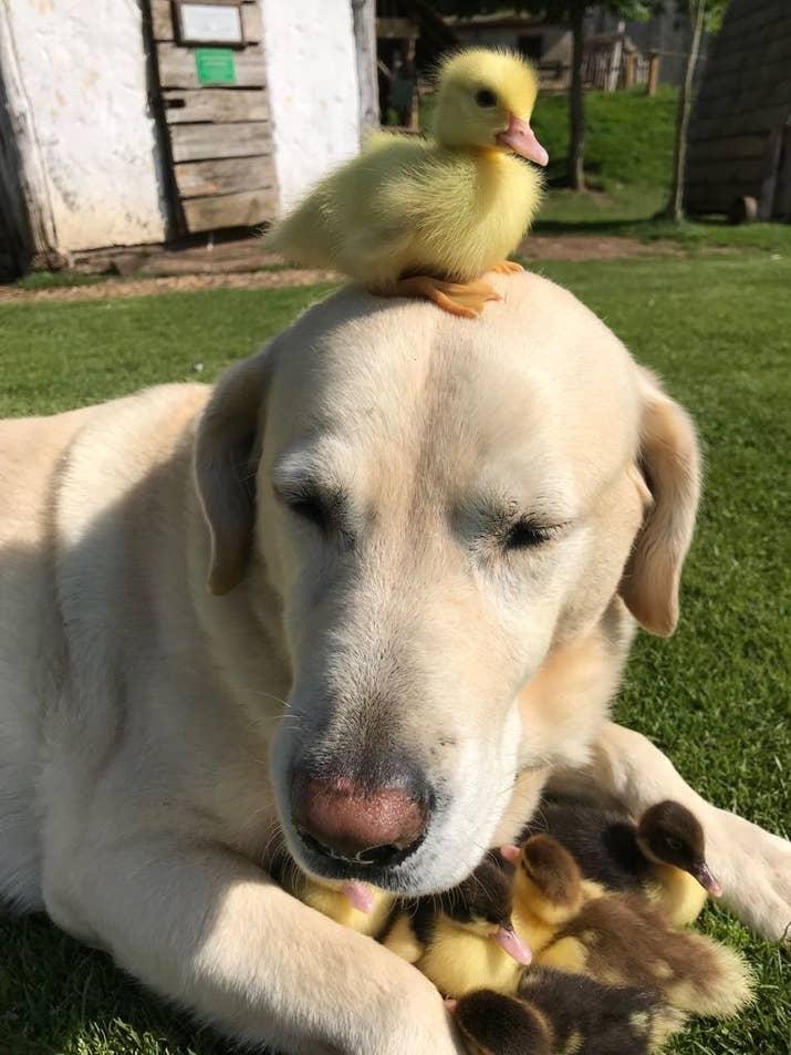 Anjing bernama Fred ini mengadopsi anak bebek yang tak punya orang tua.