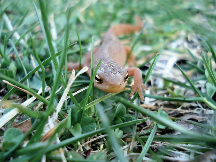 Unlike the majority of salamanders and other amphibians, the alpine salamander doesn't lay eggs and instead gives birth to fully developed young after 2- to 3-year-long pregnancies.