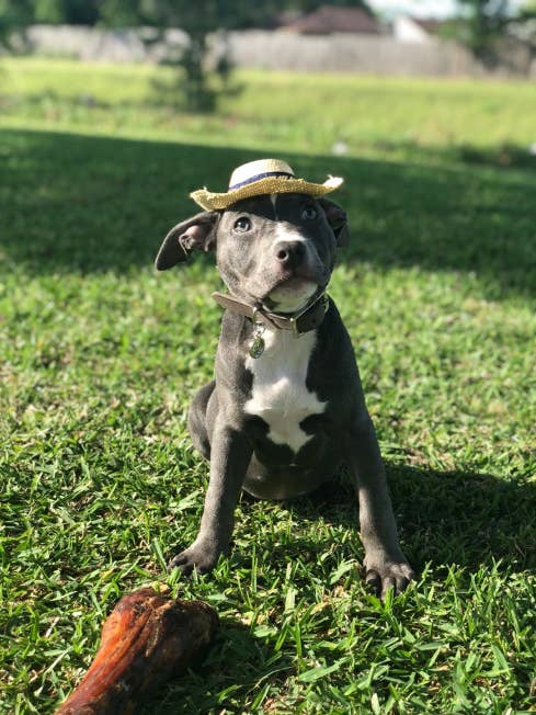 This Is The Adorable 9 Week Old Pitbull Blu