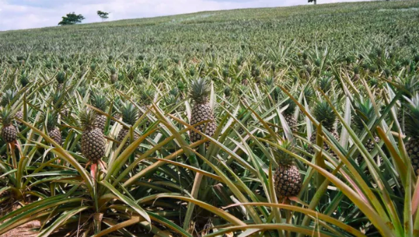How pineapples are grown: