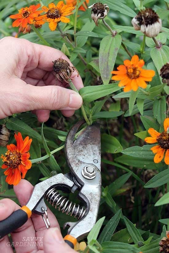 Always clip or trim back to where there's still green growth happening. Read more on Savvy Gardening here and here.