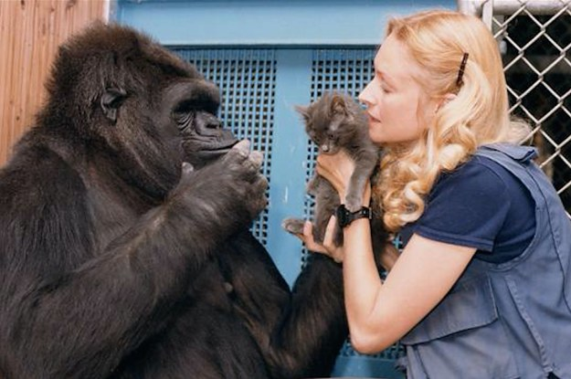 Koko, The Gorilla Who Knew Sign Language, Has Died At 46
