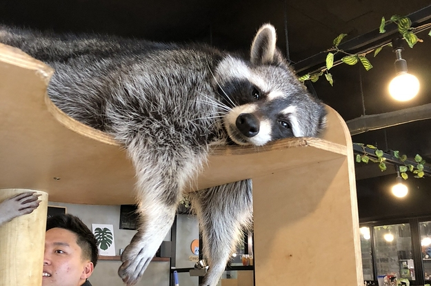 There's Literally A Raccoon Cafe In Seoul, Korea And It Will ...