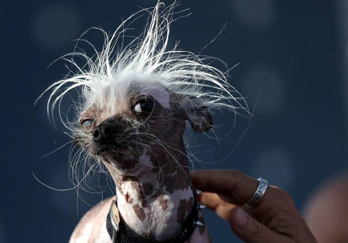 Rascal is also a Chinese Crested.