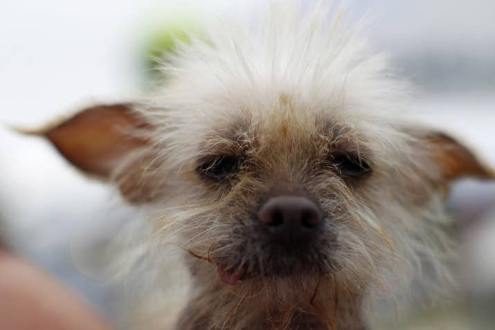 She was a 3-year-old Chinese Crested at the time of the competition.