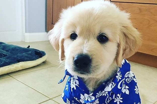 16 Golden Retrievers That Are So Cute They Ll Make You Scream