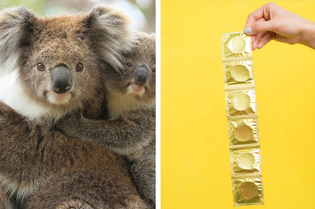 Heres What We Know About Causes Of >> Here S Everything We Know About Koalas And Their Big Chlamydia Problem