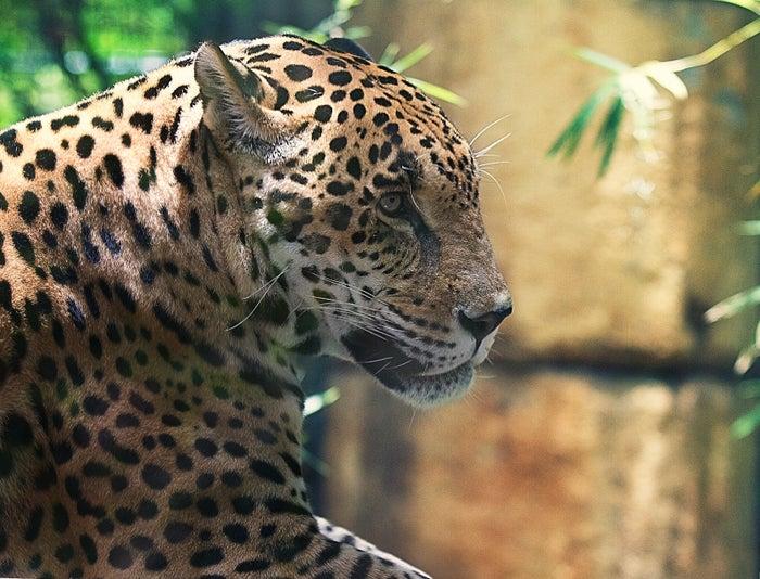 A jaguar at the Audubon Zoo in 2012.