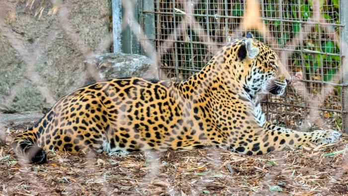 A jaguar at the zoo in 2011.