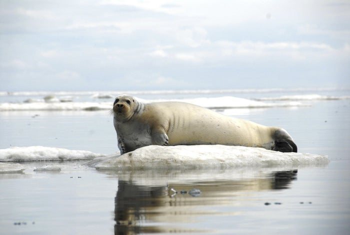 A bearded seal off the coast of Alaska. The US listed the bearded seal as threatened in 2013.