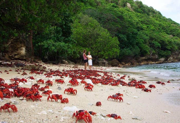 Christmas Island Red Crab.The Christmas Island Crabs Are Being Killed By Crazy Ants