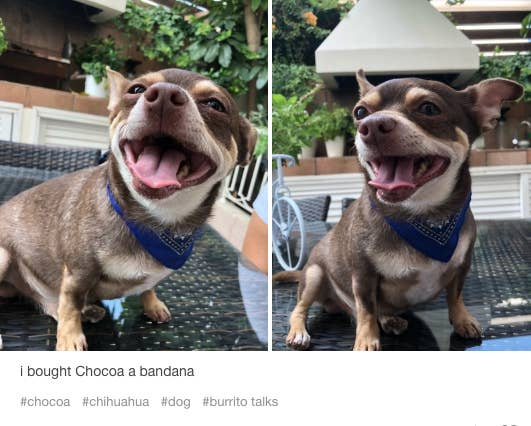 17 Reasons Chihuahuas Are The Worst Dog Breed Ever