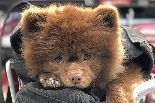 This Chocolate Pomeranian Looks Like A Baby Bear And Omg