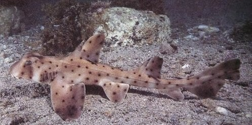"""This is a picture of what a horn shark looks like, but it's not the stolen 16-inch-long shark in question. Horn sharks, which tend to be small bottom-dwellers, have little horns on their head, """"so if you were to step on them you would get gouged,"""" said Covino. He added they will """"absolutely"""" bite humans who interfere with them.Covino said the suspects did not say why they stole the horn shark.An aquarium official told investigators that she suspected the man who stole the shark had visited the aquarium a month ago, posing as an employee of the company that supplies salt to the aquarium. The suspect offered to do salt and water testing on all the exhibits, the aquarium said in a statement Tuesday. The suspect then spent hours at the aquarium collecting samples from the tanks. """"We believe that the root of his plan was to get a behind the scenes look so he could figure out what to steal and the best way to do it,"""" the aquarium said in the statement."""