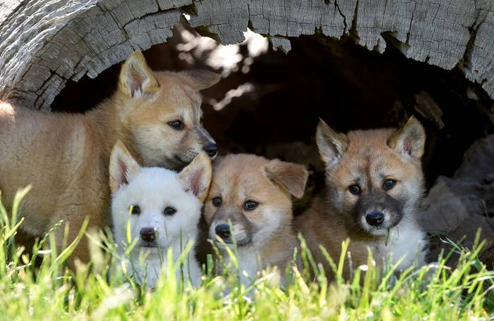 these photos of baby dingoes will make you forget that they re predators