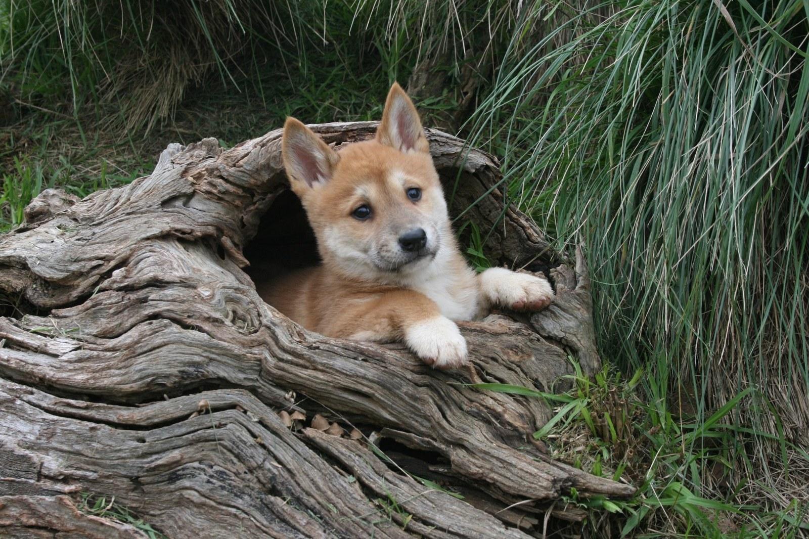 Динго собака фото щенок