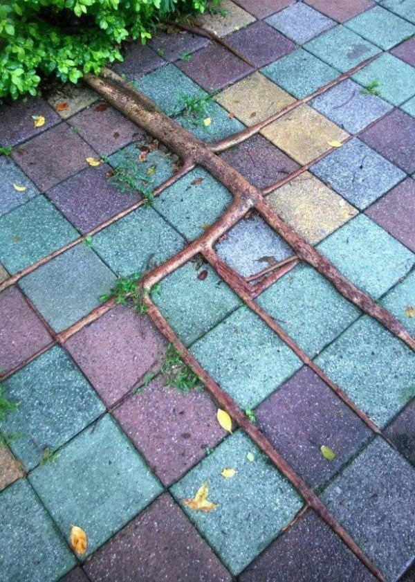 The roots of a small bush growing at right angles over cracks on the square pavers next to it