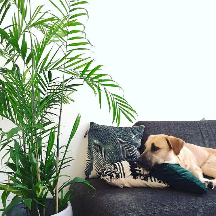 huisdier kamerplant palm
