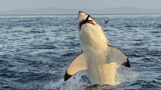 In 2003, scientists decided to tag a 9-foot-long great white shark to study temperature changes in the ocean. Weirdly, several months later, the tag recording the information was found on shore. When researchers looked at the tags information, they were stunned. About four months after the tag was put on, the shark seemed to have dove around 1,900 feet, which suggests it was attacked and eaten by something. But what could eat a 9-foot great white? An even bigger shark, some scientists say.